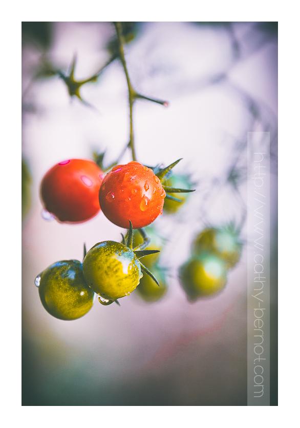 Dernières tomates cerises au jardin